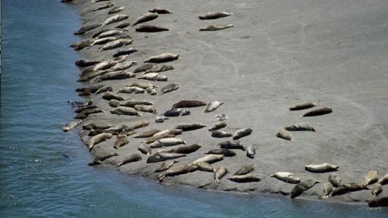 Sonoma County, CA: Seals on Russian River sand
