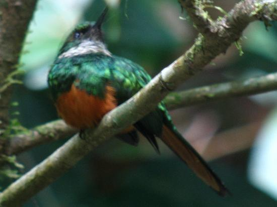 Crystal Paradise Resort: Rufous-tailed Jacamar