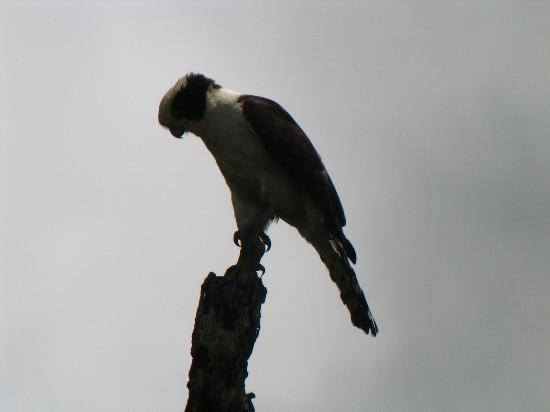 Crystal Paradise Resort: Our favorite bird the laughing falcon