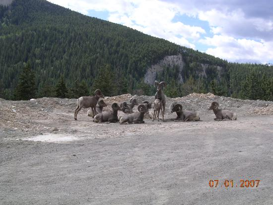 The Hillcrest Hotel, a Coast Resort: Big Horn sheep