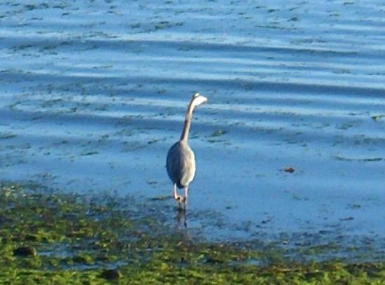 Qualicum Beach House: Heron - right there!