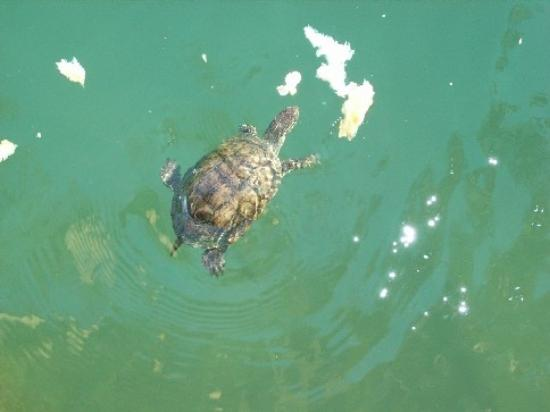 Sahin, Apartments: Turtle in River!