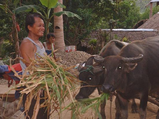 Burias Island, الفلبين: burias island philippines feeding caribou