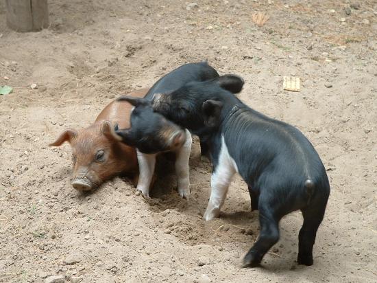 Wisconsin Deer Park: Three Little Pigs
