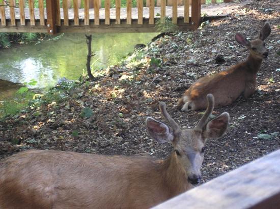 River's Edge Resort: Deer outside of cabin