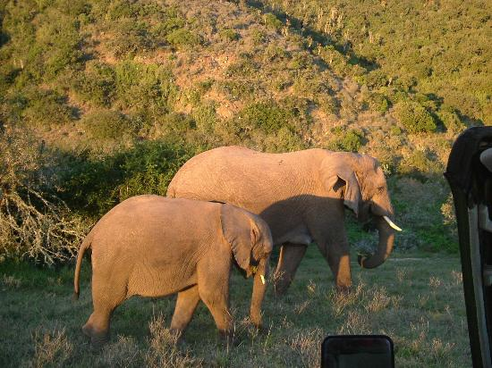 Shamwari Game Reserve Lodges: Elephants at Sunset