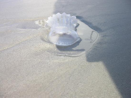 SurfMaster By The Sea : I guess another Jelly Fish