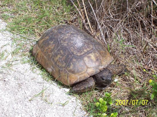 North Captiva Island Club Resort: Turtle