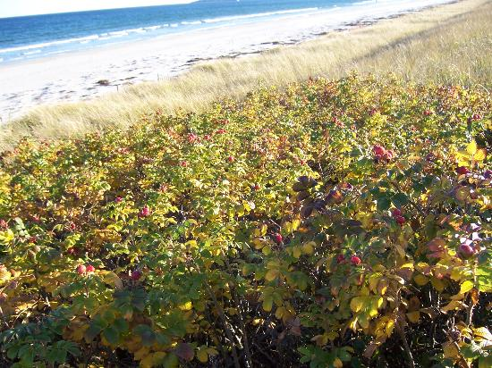 Ogunquit, ME: rose hips in autumn