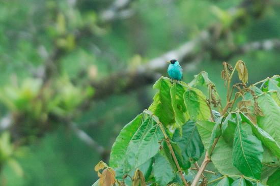 Arenal Kioro Suites & Spa : Honey Creeper seen from dining room