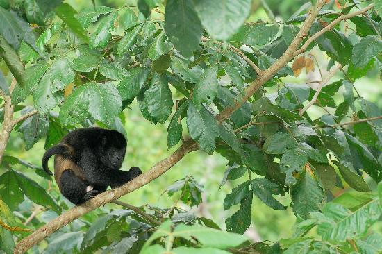 Arenal Kioro Suites & Spa : Howler Monkey seen from dining room