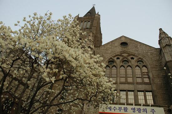 Millennium Seoul Hilton: magnolia trees at church behind the Hilton hotel