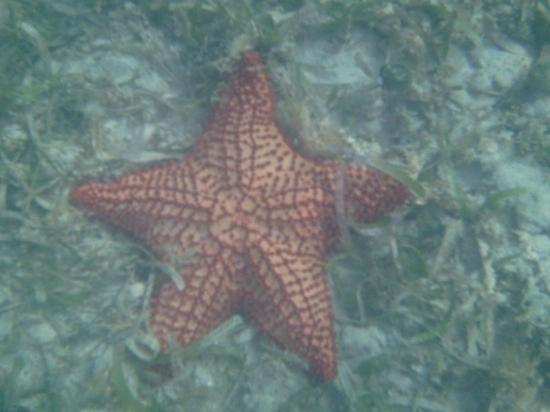 Sainte-Croix : Starfish at Halfpenny Beach