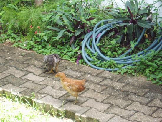 Bananaquit Apartments: Baby chickens in the garden!!!