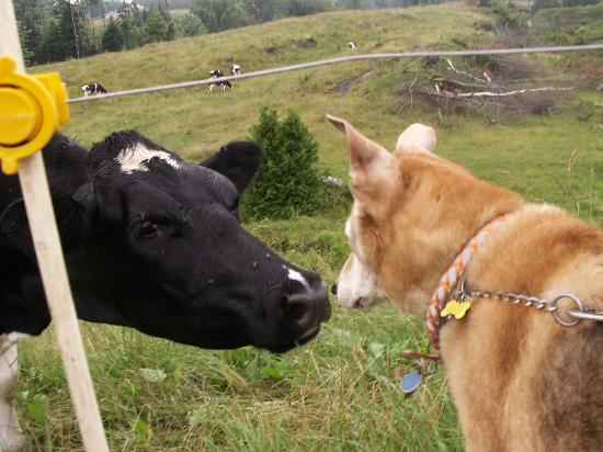 LaCross Farm Cottages: Your dog can meet cows