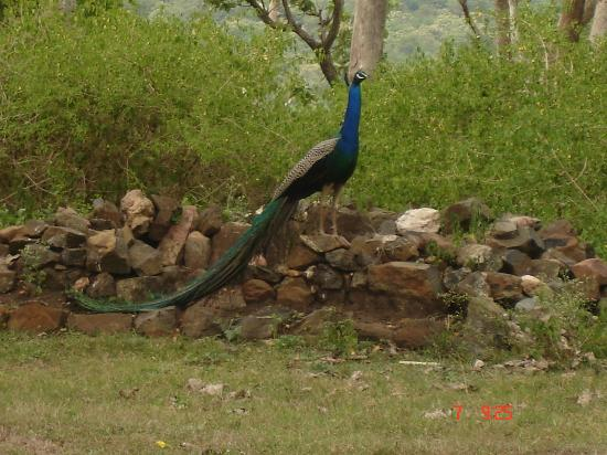Udagamandalam, India: This is the classic proud peacock pose.