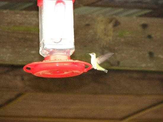 Queen Wilhelmina Lodge: Tons of Hummingbirds.