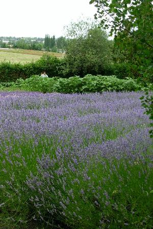 Red Lion Inn & Suites- Sequim at Olympic National Park: Purple Haze Lavander Farm