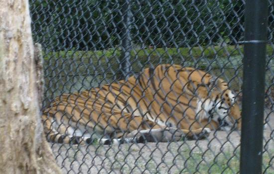 Cape May County Park & Zoo: Very big Tiger!