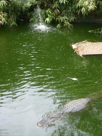 Cape May County Park & Zoo: Alligator