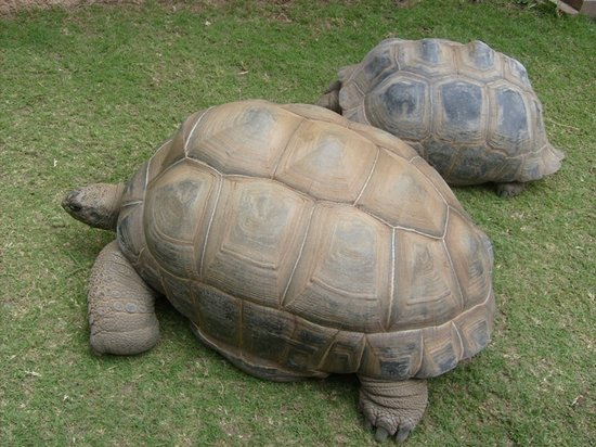 Cape May County Park & Zoo : Giant Tortoise