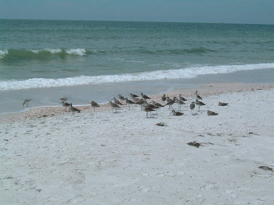 Caladesi Island State Park: birds on beach