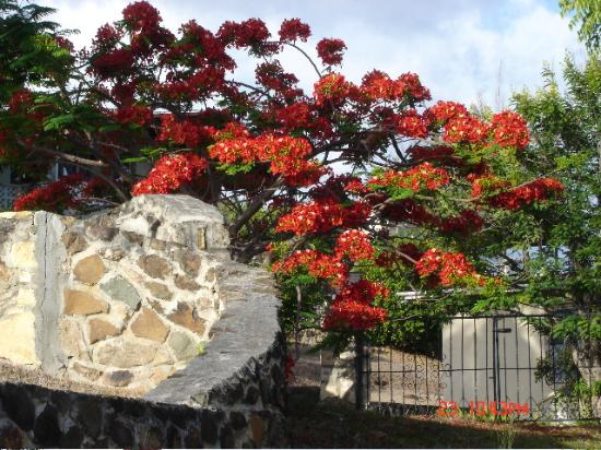 Antigua: Flame Tree