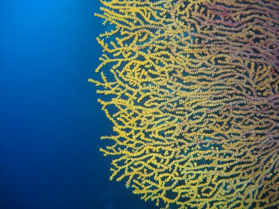 Sea fan coral at amos rock picture of tubbataha reef puerto tubbataha reef sea fan coral at amos rock publicscrutiny Images