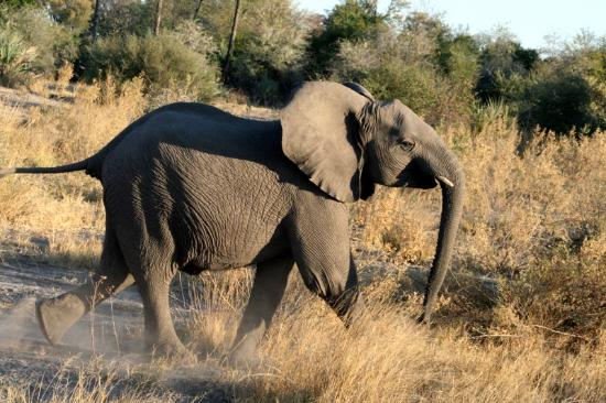 Tubu Tree Camp: sunset game drive: adolescent male elephant
