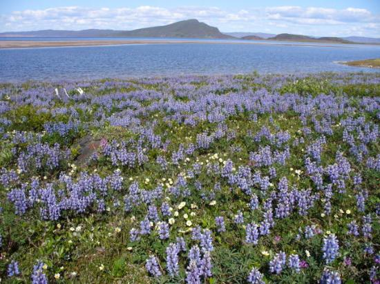 Bathurst Inlet Lodge : Lupine, Avens, and Caribou Antlers near Lodge