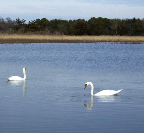 Swans at Cape May 1-07
