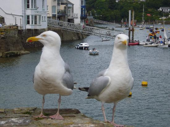 Allen's Bed & Breakfast: Giant seagulls in Fowie!