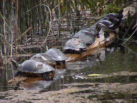 Wakulla Springs Lodge: Turtles