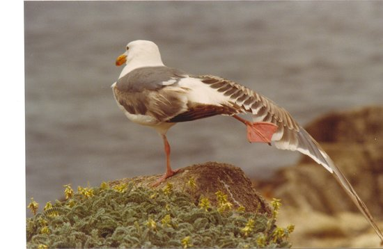 Californie : California, mouette sur la route 1