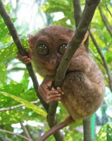 Corella, Filipina: Once the smallest primate: the endangered Tarsier