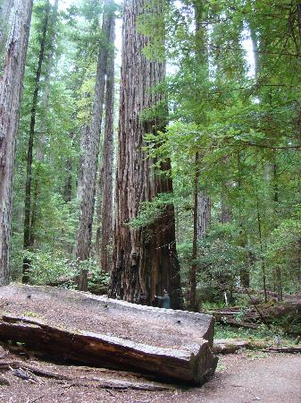 Avenue of the Giants: You can see just how big this tree is!