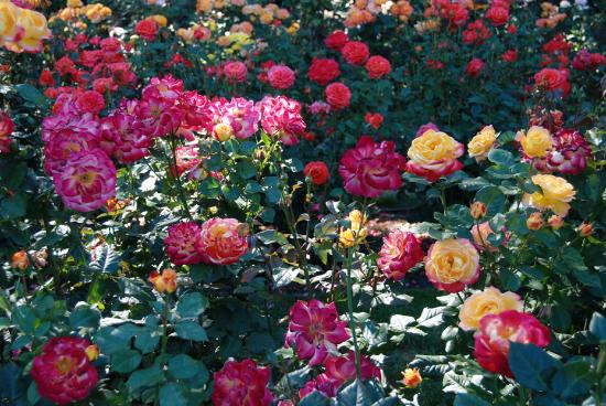 International Rose Test Garden Portland Oregon Picture Of International Rose Test Garden