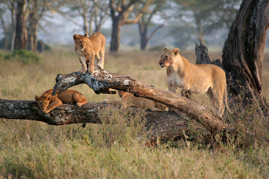 Seronera Wildlife Lodge : lioness with cubs