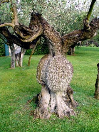 Le Tre Vaselle Resort & Spa: Olive tree garden