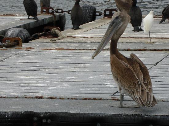 San Diego, CA: pelican
