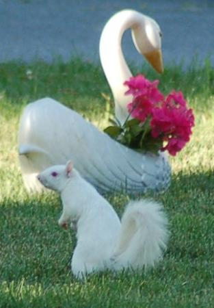 White Rose Motel: Albino Squirrel