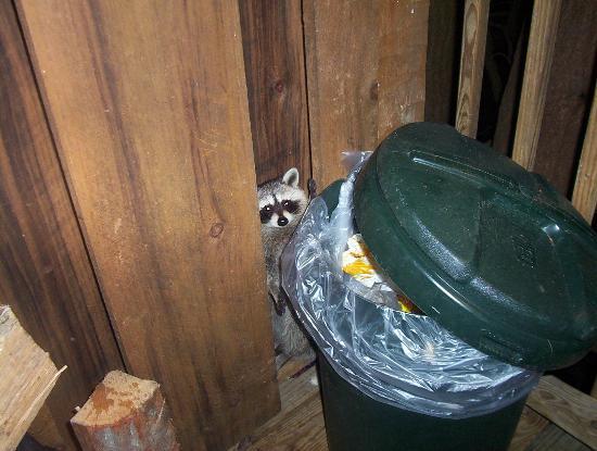 Timberwinds Log Cabins: raccoon