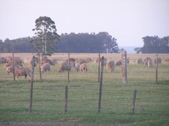 Flores Department, Uruguay: ovejitas