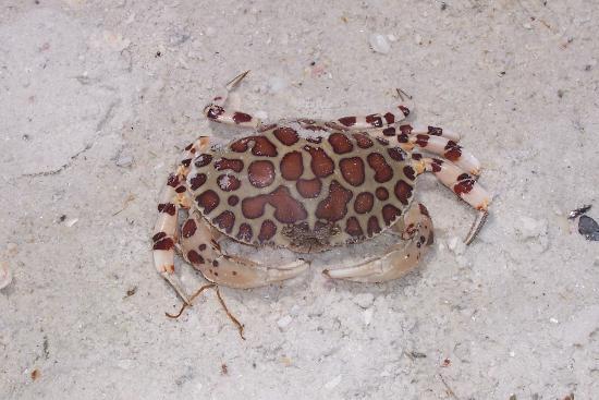 Cute Crab Picture Of Sanibel Island Southwest Gulf
