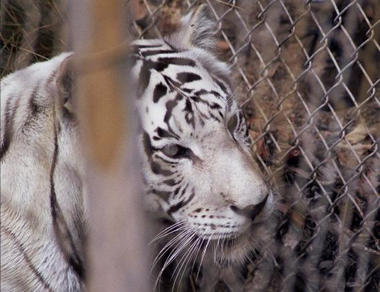 Escondido, CA: Blanca the White Tiger