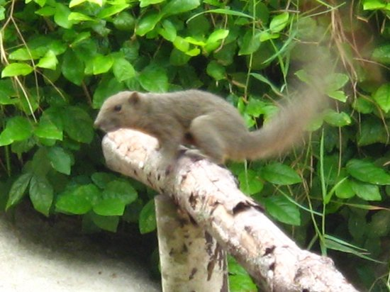 Mozana Redang Resort : Squirrels playing aroung