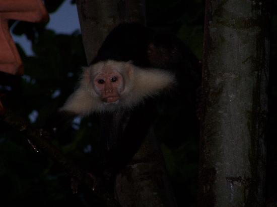 Jinetes de Osa Hotel: Monkey in the tree outside our room