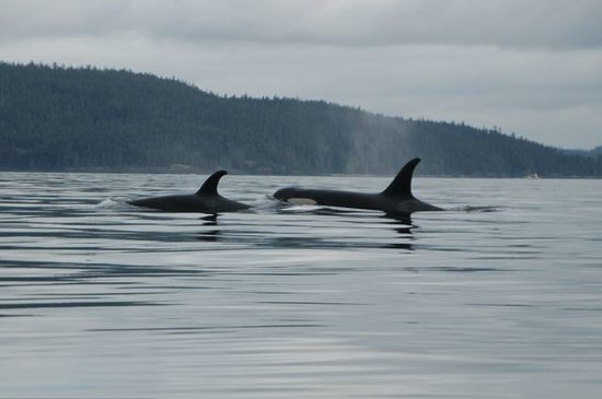 Nanaimo, Canada: Mother and baby orcas