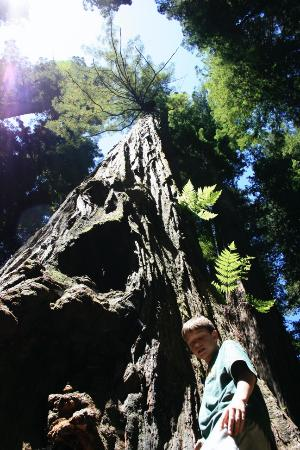 Crescent City, CA: A redwood in perspective in Stout Grove