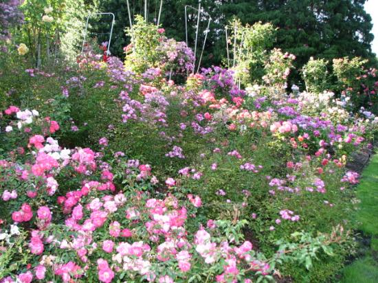 Rose Garden in August - Picture of Portland, Oregon - TripAdvisor